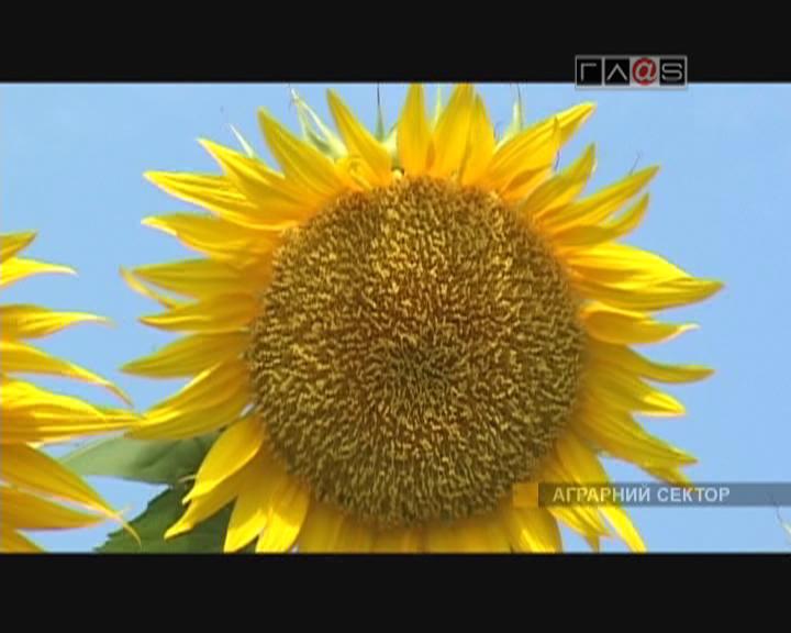 Подсолнух – символ солнца!