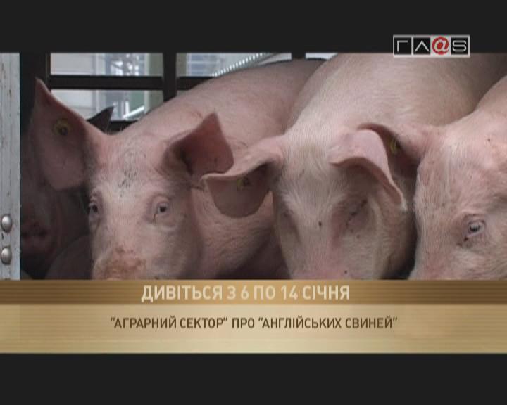 Анонс «Аграрный сектор» — «Английские свиньи в Бессарабии»