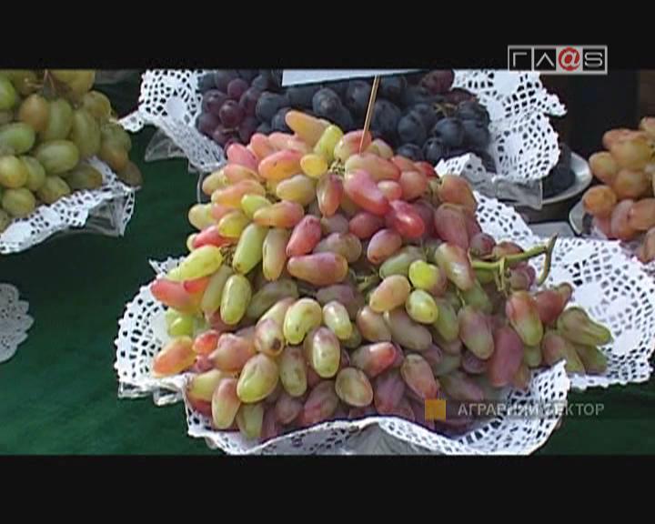 «Сингента на защите винограда»