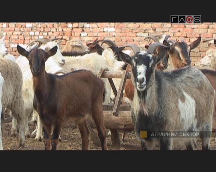 Профессиональное козоводство