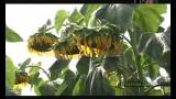 Интенсификация выращивания подсолнечника