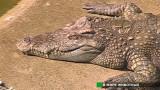 Крокодилье шоу в Тайланде