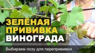 Прививка винограда зелёным черенком в зеленую лозу // Grape Grafting