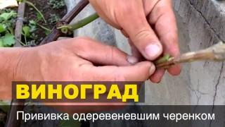 Прививка виноградной лозы прошлогодним черенком в зелёную лозу // Grape Grafting