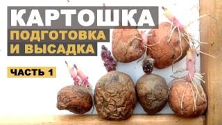 Подготовка картофеля к посадке в грядки. Первая часть
