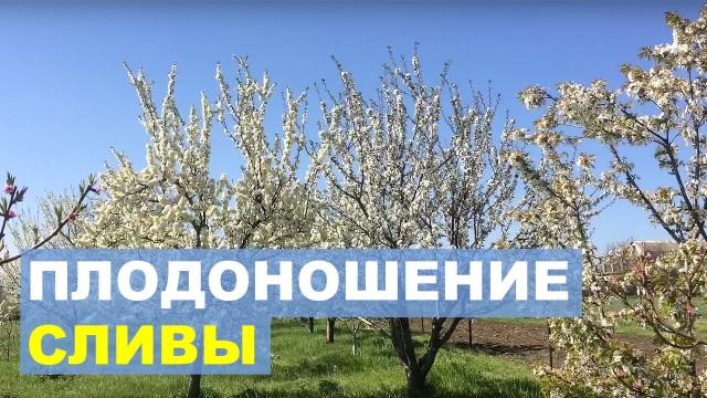 Высокий урожай сливы в Вашем саду