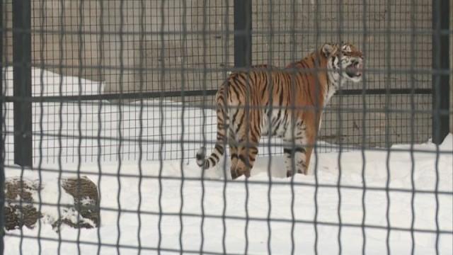 Одесский зоопарк. Пара амурских тигров