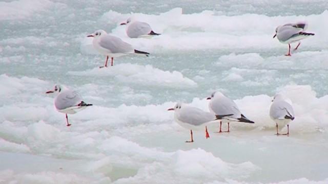Чайки на льдине у одесского побережья Черного моря