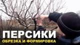 Обрезка персиковых деревьев