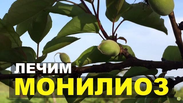 Мои химические абрикосы. Борьба с монилиозом.