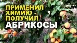 Результаты химической обработки абрикосовых деревьев (мой личный опыт борьбы с монилиозом)