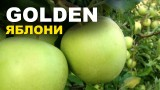 Яблони сорта ГОЛДЕН в Вашем саду. Проектиреум урожай