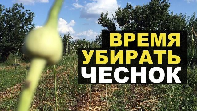 Время собирать урожай чеснока