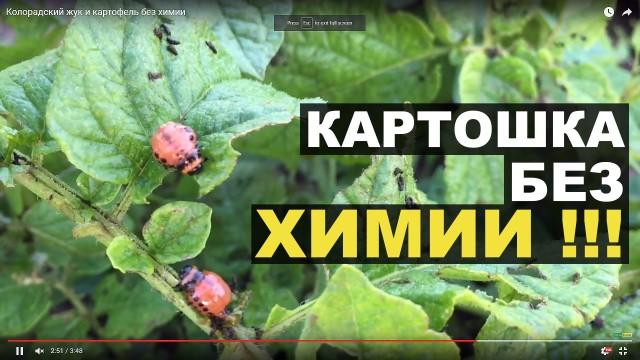 Колорадский жук и картофель без химии