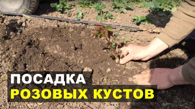 Особенности посадки розовых кустов