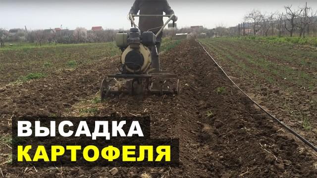 Высадка картофеля на подготовленный участок