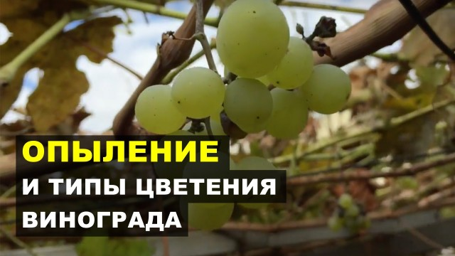 Естественное и искусственное опыление винограда