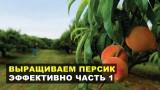 Выращиваем персик эффективно
