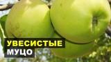 Взвешиваем яблочки МУЦО