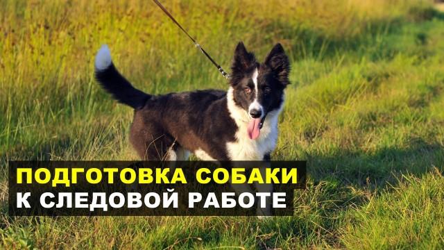 Подготовка собаки к следовой работе