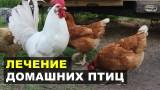 Чесоточный клещ на ногах домашней птицы — Кнемидокоптоз