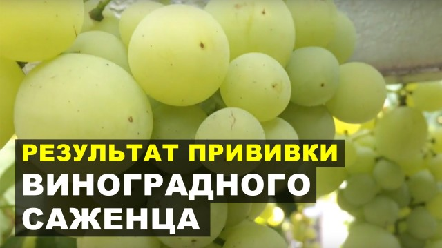Результат прививки виноградного саженца / Grape grafting result