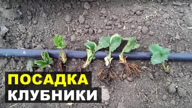Высадка клубничной рассады в почву