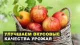 Улучшаем вкусовые качества яблок и груш