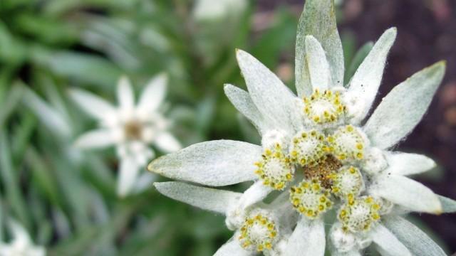 Эдельвейс, билотка альпийская, шелковая косица, белая звезда.