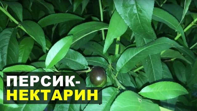 Случайно посаженный персик-нектарин (корнесобственные)