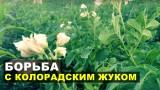 Борьба с колорадским жуком. Обработка картофельной ботвы препаратом актофит