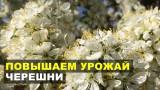Повышаем урожай черешни