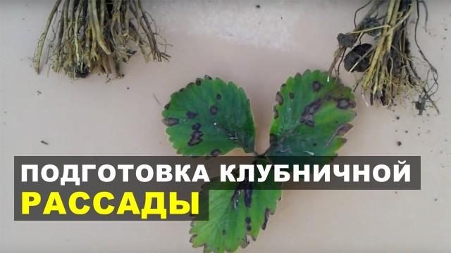 Подготовка клубничной рассады к высадке в почву