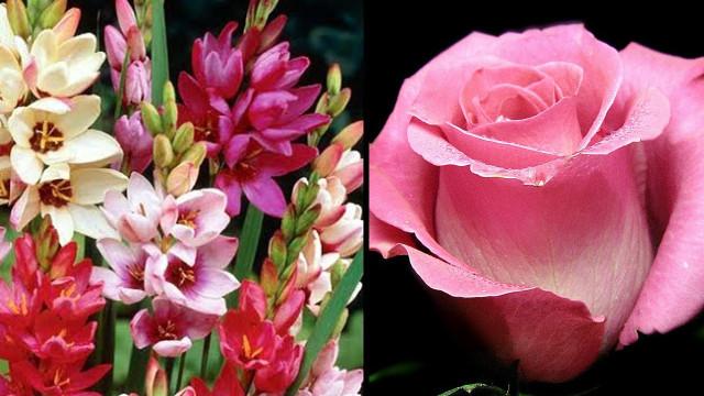 Иксия и роза