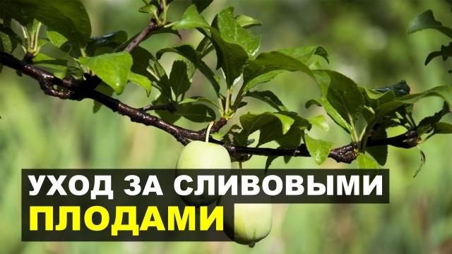 Предупреждаем осыпание плодов сливы весной