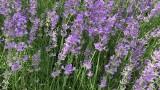 Bees&Lavender//Лаванда и пчёлы