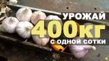 Урожайность чеснока — 400 кг с одной сотки!