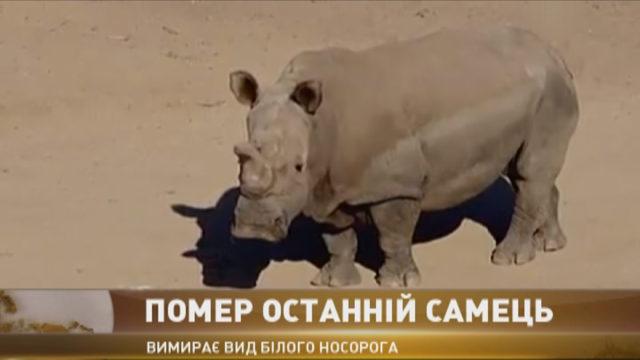 В Кении умер единственный самец северного белого носорога
