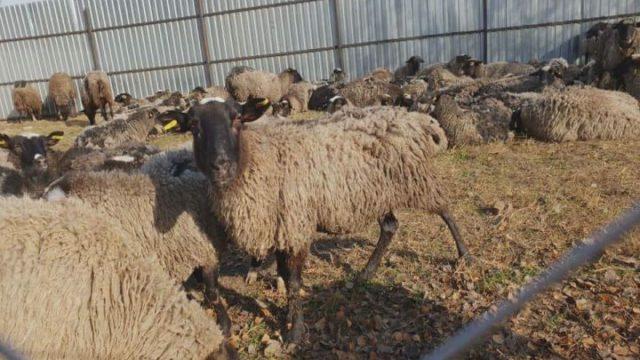 Операция «овцы»: кто окажется виноватым?