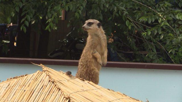 Сурикаты Одесского зоопарка